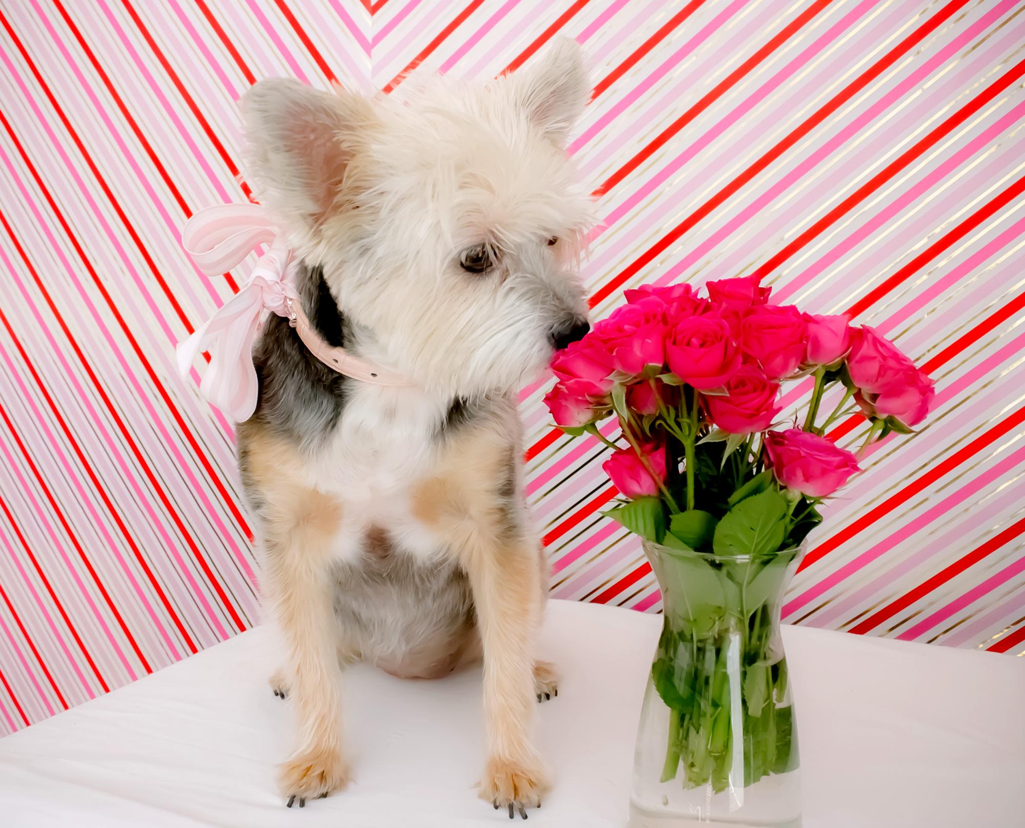 lil pup lucy valentines puppy